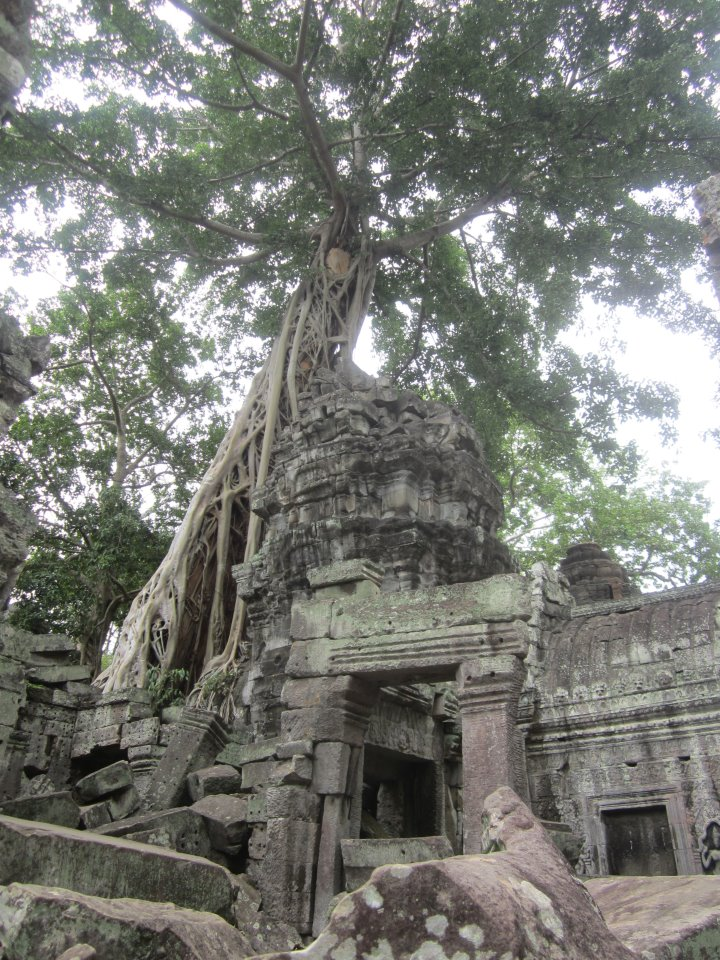 A tree overgrowing ancient temples in Angkor Wat, Cambodia.